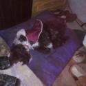 Encontramos este cachorro Encontrado el 6/5/15 en calle Balcarce al 1900 San Miguel buscamos sus dueños o será dado en adopción, contacto 11